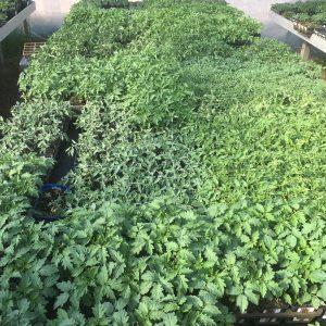 Tomatenpflanzen in Produktion